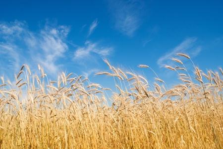 field of rye, blue sky Stock Photo - 11955644