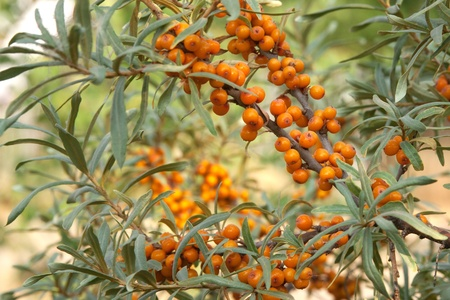 sea-buckthorn photo