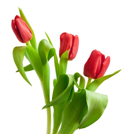 red tulips isolated on white Stok Fotoğraf - 12309967