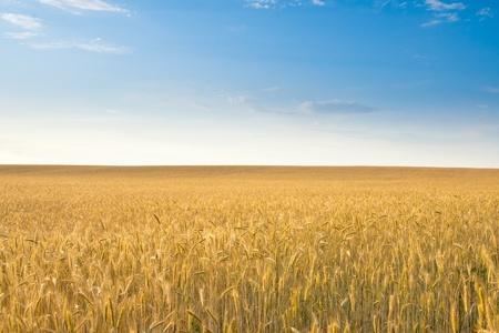 field of rye, blue sky  Stock Photo - 12310048