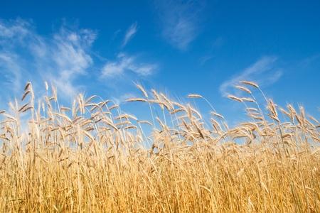 field of rye, blue sky Stock Photo - 12310045
