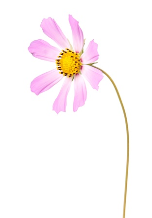 Cosmos, flower isolted on white photo