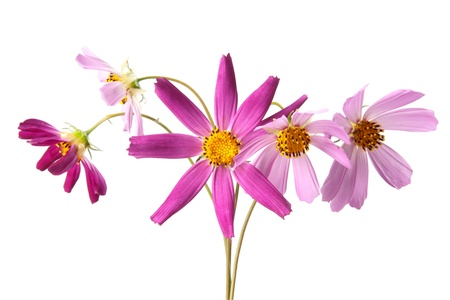 Cosmos, flowers isolted on white Stock Photo - 12308272