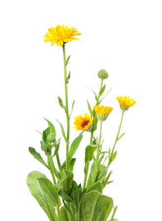 calendula, marigold isolated on white photo