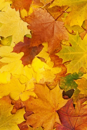 gold colour: maple leaves - background Stock Photo