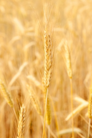 field of rye  Stock Photo - 12846780