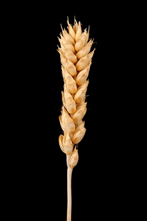 ear of wheat isolated on black photo