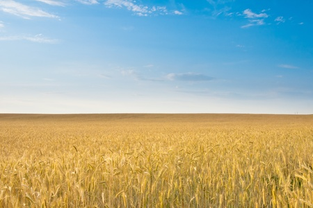 field of rye, blue sky  Stock Photo - 13012166