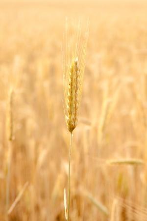 secale: field of rye  Stock Photo
