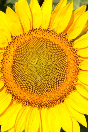 yellow sunflower photo