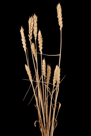 wheat isolated on black Stock Photo - 14379005