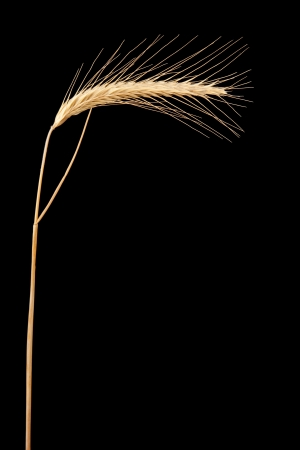 secale: ear of rye isolated on black
