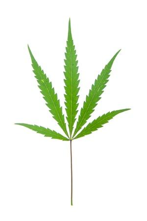 leaf of hemp isolated on white photo
