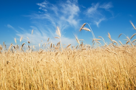 field of rye, blue sky Stock Photo - 14744587