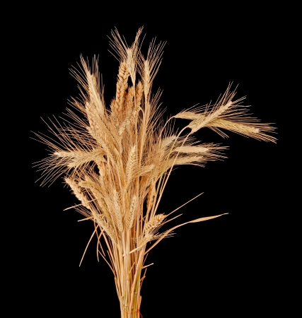 secale: wisp of wheat and rye