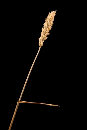 ear of wheat isolated on black Stock Photo - 15781505