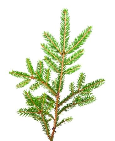 evergreen branch: banch verde de abeto aislado en blanco