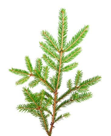 green banch of fir isolated on white photo