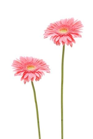 gebera: two gebera (african daisy) isolated on white Stock Photo