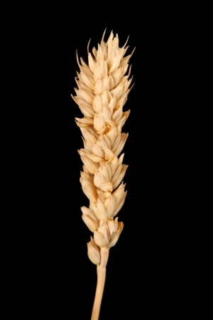 ear of wheat isolated on black Stock Photo - 16440832