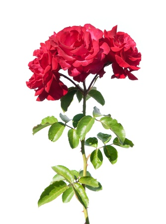 single rose: red rose isolated on white Stock Photo