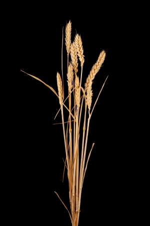 wheat isolated on black photo