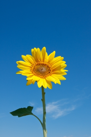 sunflower on blue sky photo