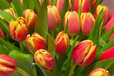 stalk flowers: beautiful tulips