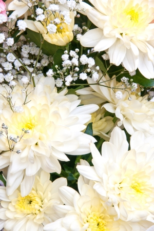 white chrysanthemums photo