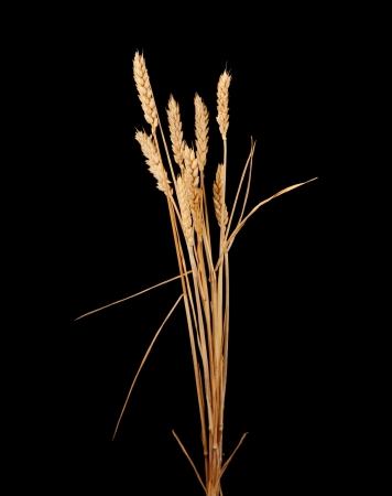 wheat isolated on black Stock Photo - 18701902
