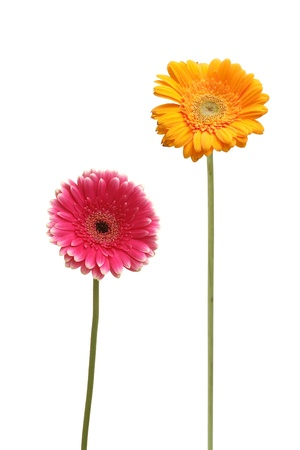 gebera: two gebera  african daisy  isolated on white