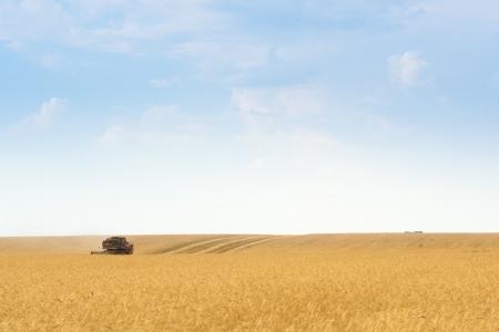 secale: grain harvester combine work in field