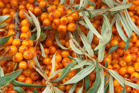 orange  sea-buckthorn with green twig photo