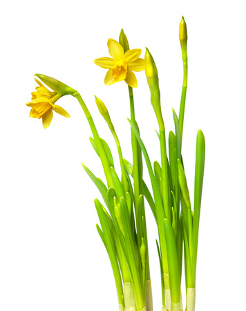 lent: narcissus isolated on white Stock Photo
