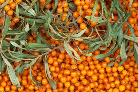 argousier: d'orange argousier avec brindille verte