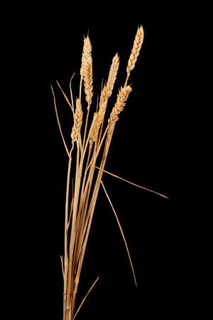 wheat isolated on black photo