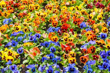 viola tricolor pansy, flowerbed photo