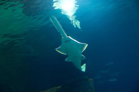 sawfish photo