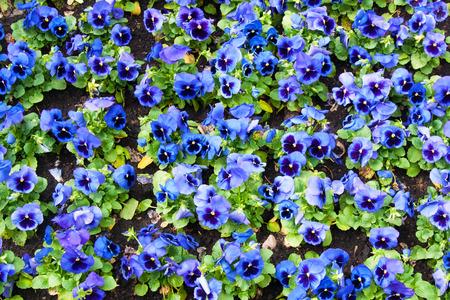 tricolor: viola tricolor pansy, flowerbed