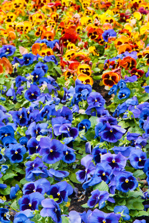 flamy: viola tricolor pansy, flowerbed