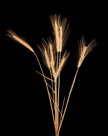 secale: rye isolated on black