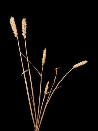 secale: wheat isolated on black