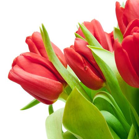 ramo de flores: tulipanes rojos aislados en blanco Foto de archivo