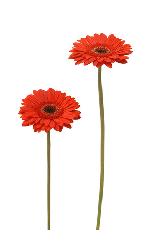 gerber daisy: two gebera (african daisy) isolated on white Stock Photo