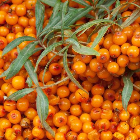 argousier: argousier orange avec rameau vert Banque d'images