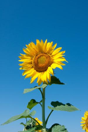 yellow sunflower on blue sky Stok Fotoğraf