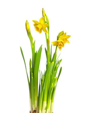 narcissus isolated on white Stok Fotoğraf