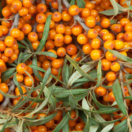 seabuckthorn: orange  sea-buckthorn with green twig Stock Photo