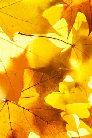 maple leaves - background Stok Fotoğraf