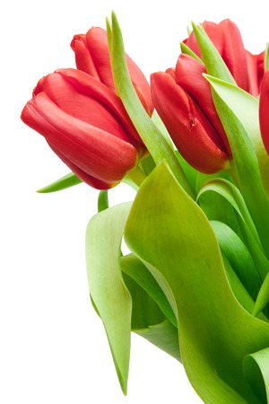 red tulips isolated on white